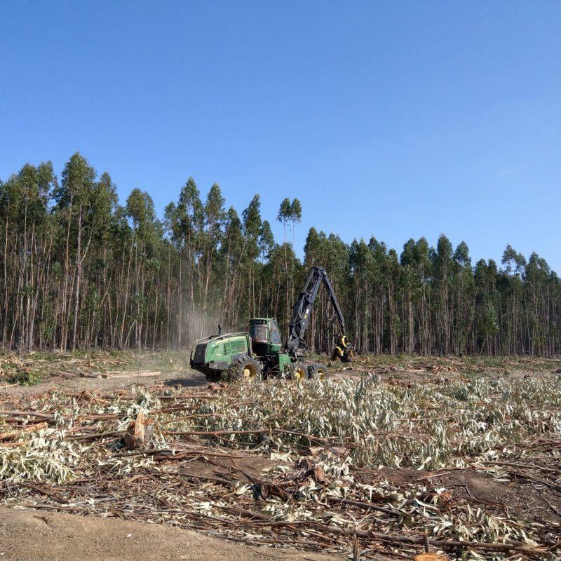 Eucalyptus harvest in Portugal