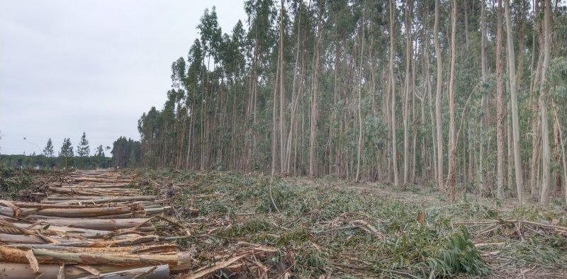 Eucalyptus paper tree