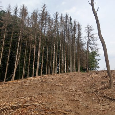 Spruces with rotten damage in Germany